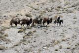 Afghan on horseback leading a train of 4 bactrian camels, Wakhan Corridor