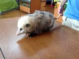 Possum!
