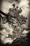 Old Timey Bent Tree  LO III