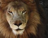 _MG_9979a 8x10 mr. lion.jpg