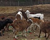 _MG_1334 a 8x10 goats.jpg