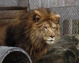 _MG_1225a 8x10mr. lion.jpg