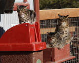 _MG_1592a barn cats.jpg
