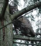 Bobcat? in the neighborhood