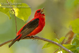 Scarlet Tanager (immature male)