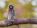 northern hawk owl (juv.)(Surnia ulula, NL: sperweruil, N:  haukugle)