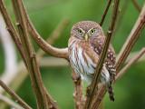peruvian pygmy-owl(Glaucidium peruanum, ESP: mochuelo peruano)