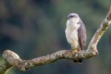 grey-backed hawk(Leucopternis occidentalis)