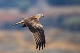 red kite(Milvus milvus, ESP: milano real)