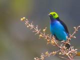 paradise tanager(Tangara chilensis, NL: paradijstangare)
