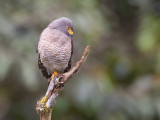 roadside hawk(Buteo magnirostris)