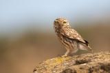 little owl(Athena noctua)