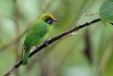 golden-fronted leafbird(Chloropsis aurifrons)
