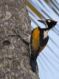 white-naped woodpecker (Chrysocolaptes festivus)