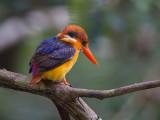 oriental dwarf kingfisher (Ceyx erithaca)