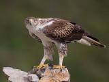 Bonelli's eagle (Hieraaetus fasciatus)