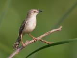 clamorous reed warbler(Acrocephalus stentoreus)