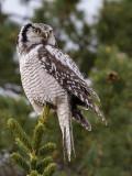 northern hawk owl (Surnia ulula)(sperweruil (NL) haukugle (N)