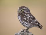 little owl  (Athena noctua)