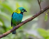 green-headed tanager (Tangara seledon)