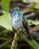 versicolored emerald (Amazilia versicolor)