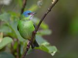 blue dacnis (f.) (Dacnis cayana)
