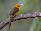 saffron toucanet(Baillonius bailloni)