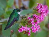 white-throated hummingbird (Leucochloris albicollis)