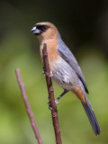 cinnamon tanager (Schistochlamys ruficapillus)