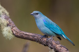 azure-shouldered tanager (Thraupis cyanoptera)