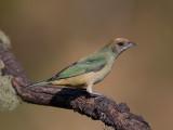 burnished-buff tanager (f.) (Tangara cayana)</i