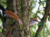 rufous-capped spinetail (Synallaxis ruficapilla)