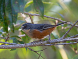 buff-throated warbling-finch (Poospiza lateralis)