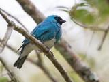 swallow tanager (m.) (Tersina viridis)