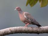 picazura pigeon (Columba picazura)