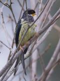 swallow-tailed cotinga (Phibalura flavirostris)