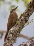 planalto woodcreeper (Dendrocolaptes platyrostris)