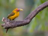 saffron toucanet (Baillonius bailloni)