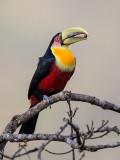 green-billed toucan (Ramphastos dicolorus)
