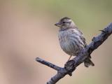 rock sparrow (Petronia petroni)