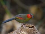 red-faced liocichla(Liocichla phoenicea)