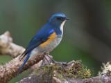 himalayan bluetail (m.)(Tarsiger rufilatus)