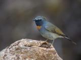 rufous-gorgeted flycatcher(Fidecula strophiata)