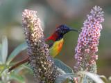 fire-tailed sunbird(Aethopyga ignicauda)