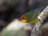 chestnut-headed tesia(Tesia castaneocoronata)