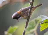 whiskered yuhina(Yuhina flavicollis)