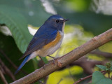 red-flanked bluetail(Tarsiger cyanurus)