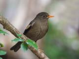 grey-winged blackbird(Turdus boulboul)