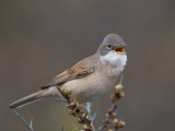 whitethroat(Sylvia communis)