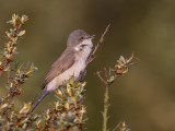 braamsluiper(lesser whitethroat, Sylvia curruca)